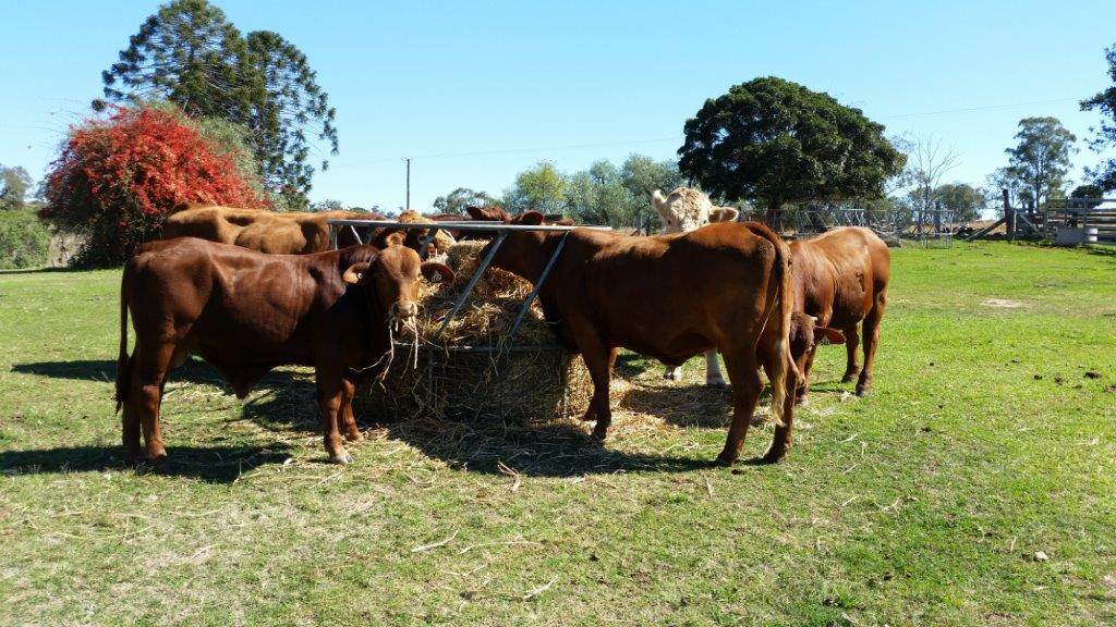 Cattle at Edenholme Farmstay